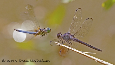 Dragonfly Confrontation