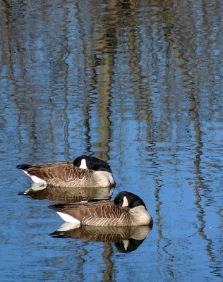 Resting Canadian Geese