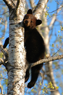 """hang In There"" Little Black Bear"