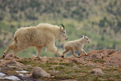 Mountain Goat With Kid Trotting