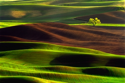 Lone Tree On Palouse Landscape Eastern Washyington