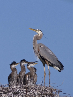Blue Heron And Chicks