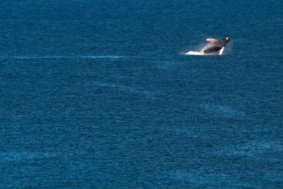 Whale Playing
