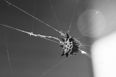 Spiny Backed Orb Weaver Spider