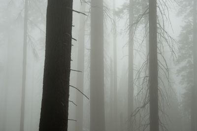 Foggy Giant Forest