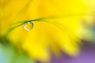 Morning Dew Drop On Dandelion