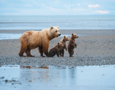 Grizzly With Three Cubs