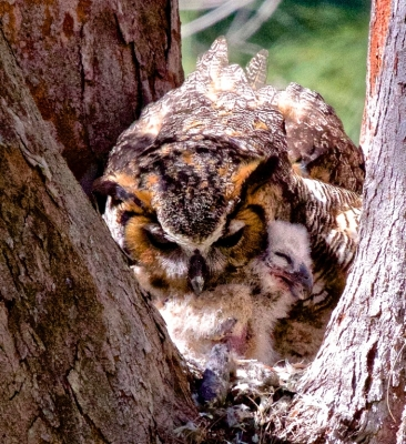 Great Horned Owl With Recently Born Owlet