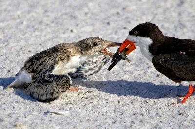 Black Skimmer Feeding Its Chick