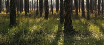 Late Afternoon At The Pine Savana
