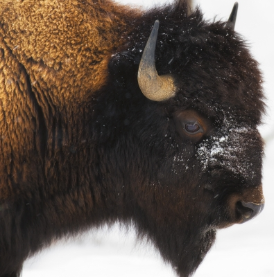 Bison Portrait