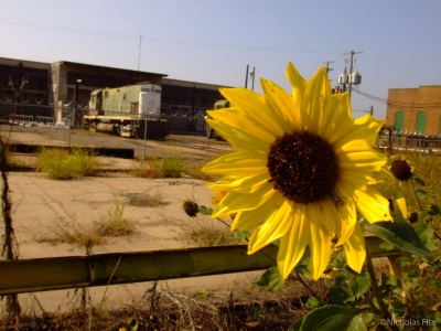 Sunflower At The Train Depot