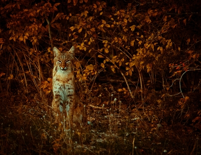 Bobcat In Fall
