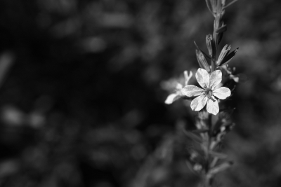 Flower In Bw
