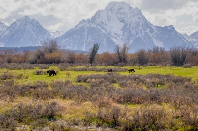 Grizzly Tetons