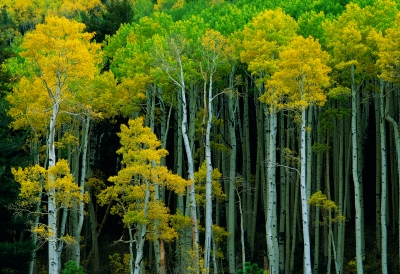 Turning Of The Aspen Leaves.
