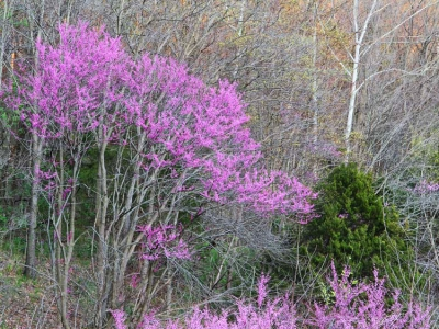 Redbuds On A Hillside #2