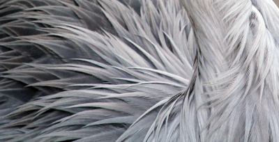 Crane Feather Abstract