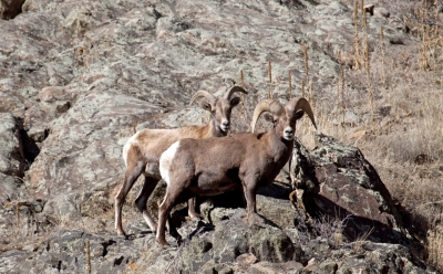 Colorado Bighorns