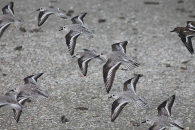 Sanderling Flight
