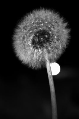 Dandelion At Night
