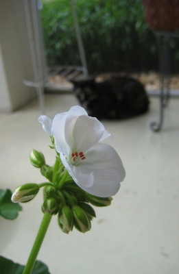 Lovie And A Geranium Bloom
