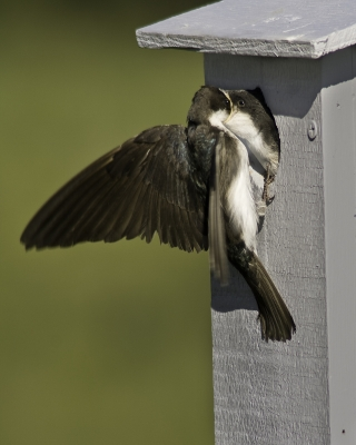 Female Tree Swallow Feeding Baby