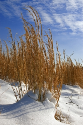Grasses And Snow