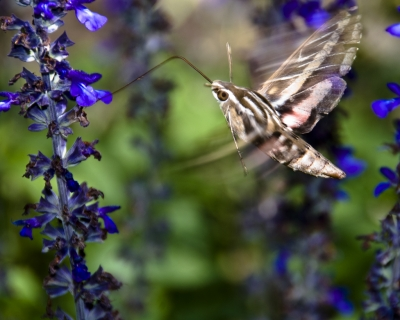 Hawk Moth Feeding In Flight