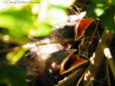 Hungry Baby Robins