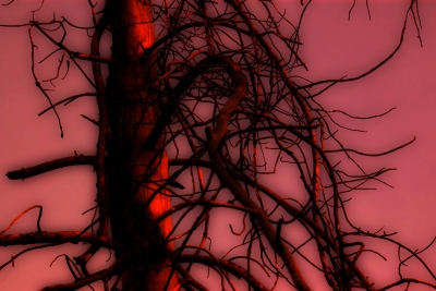 Abstract Of Jack Pine