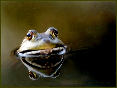 Frog And His Reflection