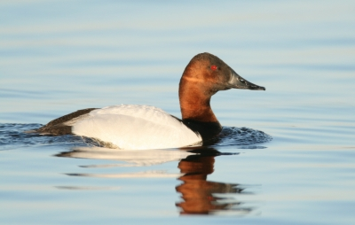 Male Canvasback At Montezuma National Wildlife Refuge, Ny