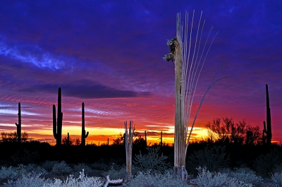 Saguaro Fan At Sunset
