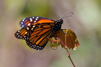 Monarch Butterfly Shot At 400mm Hand Held