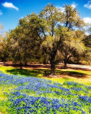 Spring Oaks And Bluebonnets