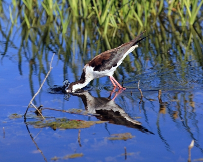 Black Necked Stilt Fishing