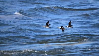 Long-tailed Ducks And The Sea