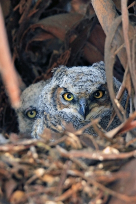 Rush Ranch Owlets
