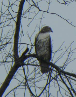 White Breasted Hawk