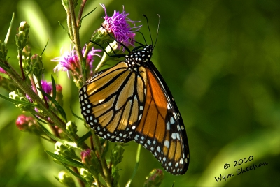 Life Of A Monarch