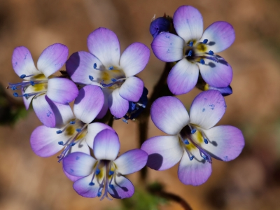 Great Basin Gilia