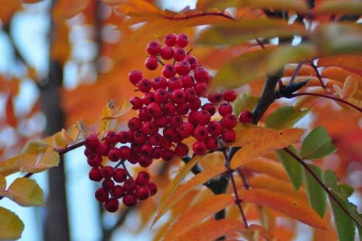 Mountain Ash In Fall Color