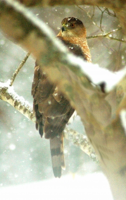 Hawk In Snow