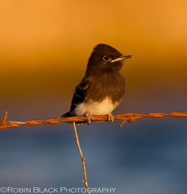 Bird On A Wire (juvenile Black Phoebe)