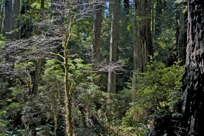 California Rain Forest