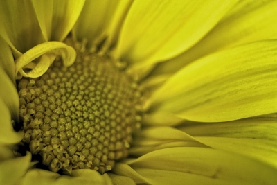 The Yellow Bloom