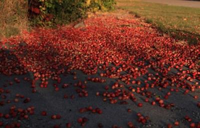 Crab Apple Tree Fruit Just On The Ground