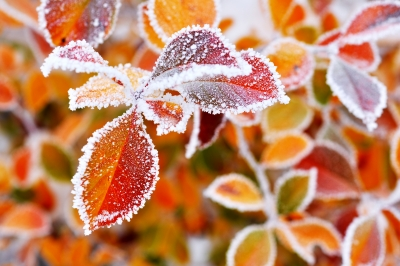 Colorful Frosted Leaves