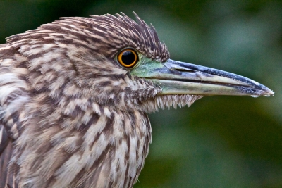 Young Night Heron Profile